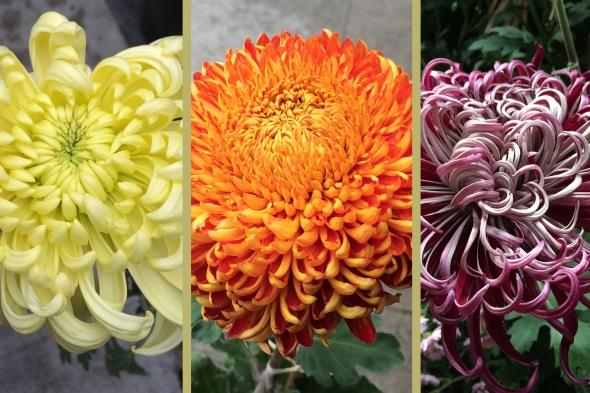 2018 Chrysanthemum Sale Lan Su Chinese Garden